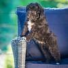 Puppies 8 weeks-316