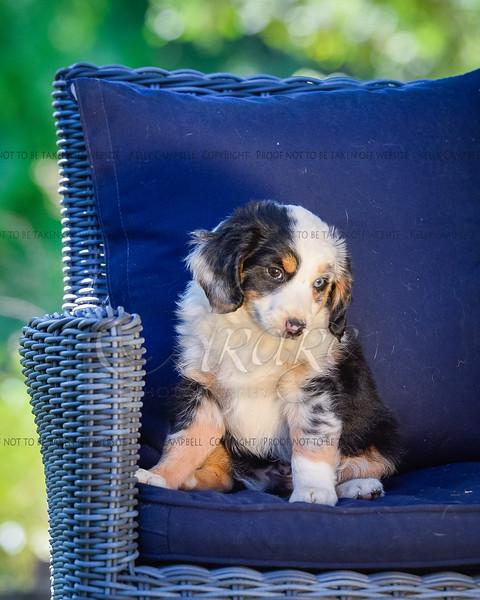 Puppies 8 weeks-356
