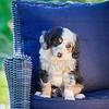 Puppies 8 weeks-357