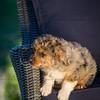 Puppies 8 weeks-301
