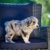 Puppies 8 weeks-331