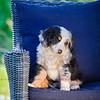 Puppies 8 weeks-355