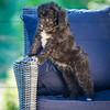 Puppies 8 weeks-317