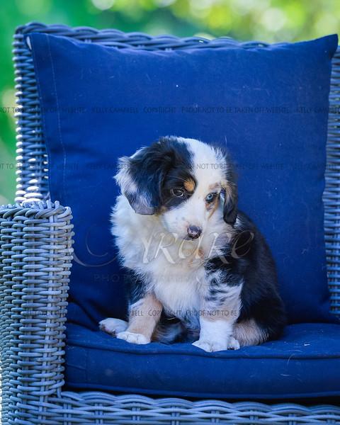 Puppies 8 weeks-361
