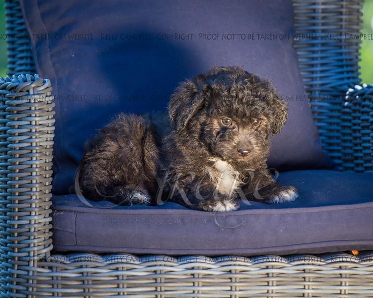 Puppies 8 weeks-310