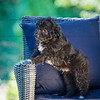 Puppies 8 weeks-315
