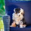 Puppies 8 weeks-354