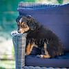 Puppies 8 weeks-319