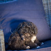 Puppies 8 weeks-306