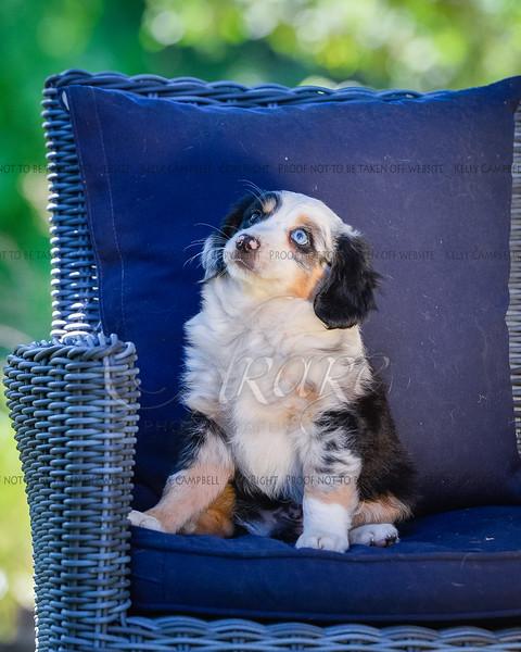 Puppies 8 weeks-352