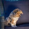 Puppies 8 weeks-303