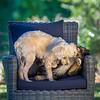 Puppies 8 weeks-323