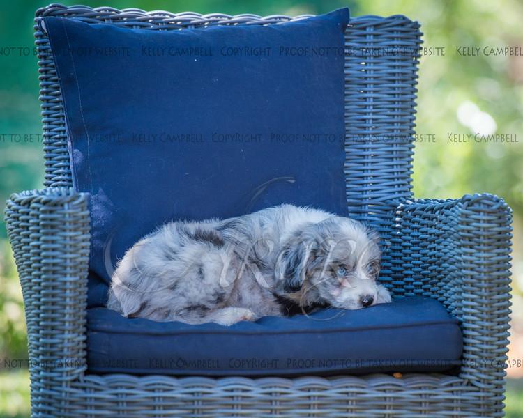 Puppies 8 weeks-329