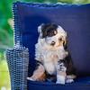 Puppies 8 weeks-353