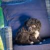 Puppies 8 weeks-305
