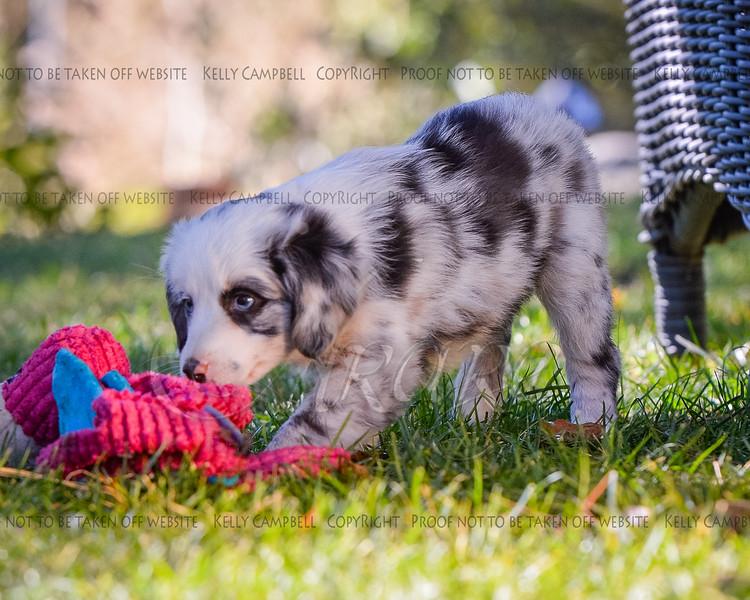 Puppies 8 weeks-362