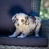 Puppies 8 weeks-347