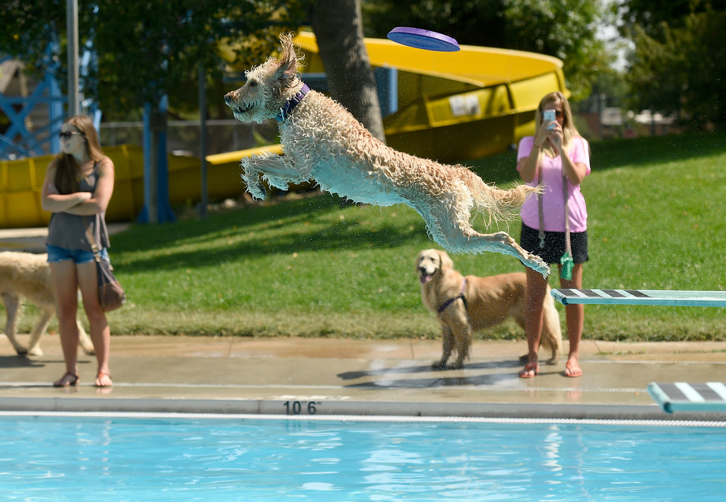 . Penny jumps off the diving board after her ball during Dog Dayz at Scott Carpenter Pool on Monday in Boulder. For more photos and video of Dog Dayz go to dailycamera.com Jeremy Papasso/ Staff Photographer 9/11/2017