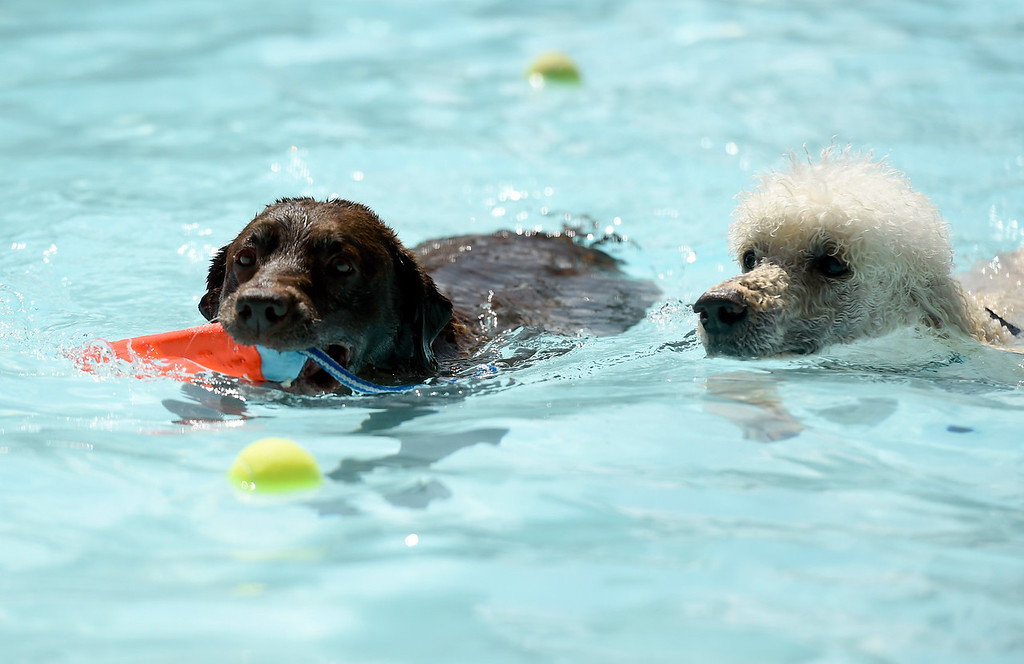 . Dogs enjoying the water during Dog Dayz at Scott Carpenter Pool on Monday in Boulder. For more photos and video of Dog Dayz go to dailycamera.com Jeremy Papasso/ Staff Photographer 9/11/2017