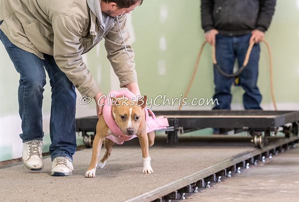 NIKA - Weight Pull - Southtown K9 - Sunday, March 25, 2018