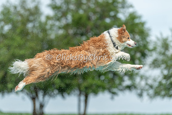 This photograph was captured by Chris Davis from Clicks by Chris during the NIKA / UKC Dock Diving event held at Southtown K9 in Rock Falls, Illinois on Sunday June 28, 2020 at 9:26AM. AAA5604. Fee-liable image, © Copyright 2020 Chris Davis Clicks by Chris