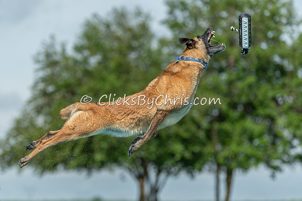 This photograph was captured by Chris Davis from Clicks by Chris during the NIKA / UKC Dock Diving event held at Southtown K9 in Rock Falls, Illinois on Sunday June 28, 2020 at 9:24AM. AAA5597. Fee-liable image, © Copyright 2020 Chris Davis Clicks by Chris