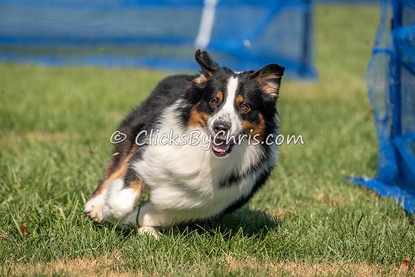UKC Gateway - Swiftpaws Precision Coursing - Purina Farms - Saturday, Oct. 27, 2018