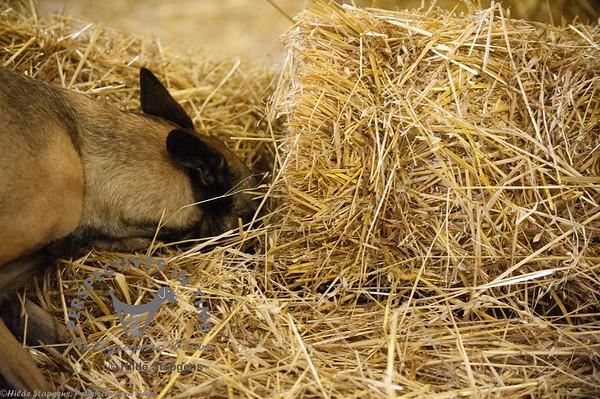 2015 CIKC Barn Hunt 9-20-15 Sirius Ranch