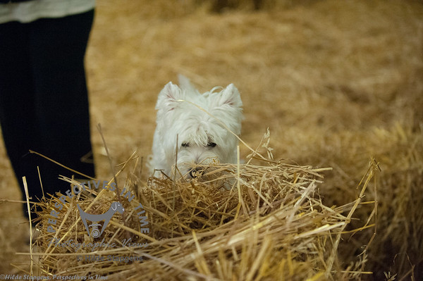 2015 CIKC Barn Hunt 9-18-15 - Sirius Ranch