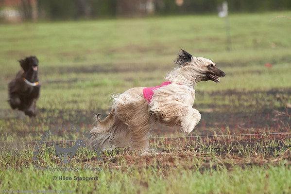 2014 May 25th Lure Coursing - Fairbanks