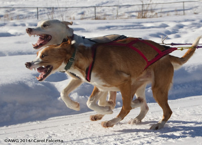 March 20 2014 Zada Maruskie Alaska Leader dogs