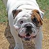 bulldog close up_2123