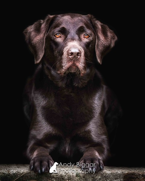 Dog Photographer Labrador