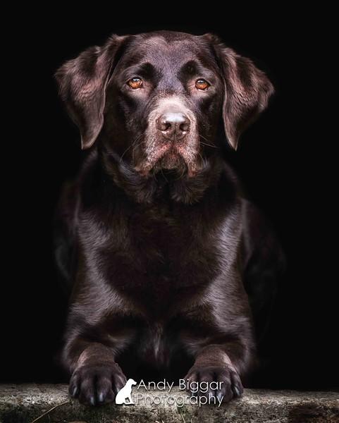 Dog Photographer Labrador