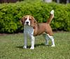 Beagle (13 inch)