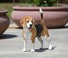 Beagle (15 inch)
