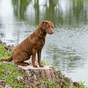 Cheasapeake Bay Retriever