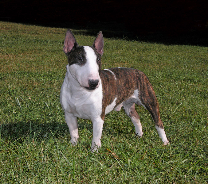 Miniature Bull Terrier nx