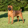 Brussels Griffon (smooth coat)