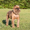 Brussels Griffon (rough coat)