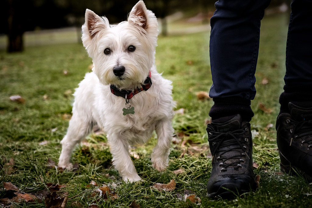 West Highland White Terrier ( Milly )