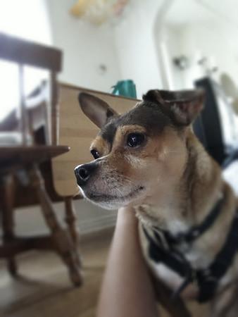 Adoptable Chihuahua