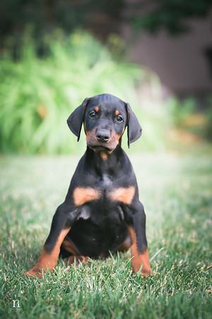 Jen Beuhring - Doberman Puppies