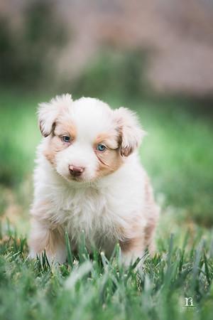 Nicole Lake - Standard Australian Shepherd Puppies 6.20.17