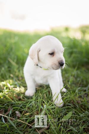 Tom Liddle White Laborador Puppies