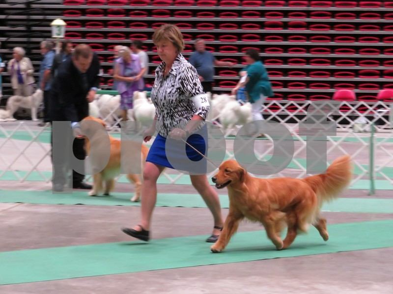 Katie Finlon for Shaw Media<br /> Owner and handler Luann Runkle of Wayzata, Minnesota, shows her golden retriever, Remy, during a conformation event at the American Kennel Club-certified dog show on Sunday in DeKalb, hosted by the Greater DeKalb Kennel Club.