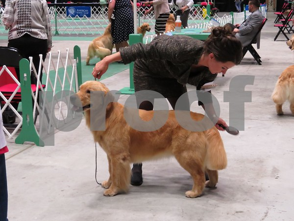 Katie Finlon for Shaw Media<br /> Dog handler Kara Janiszak, of Belleville, brushes a golden retriever, Ivy, before returning to a conformation event at the American Kennel Club-certified dog show on Sunday in DeKalb, hosted by the Greater DeKalb Kennel Club.