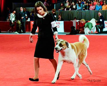 Anatolian Shepherd Dog - CH Islandfarm's Kensington