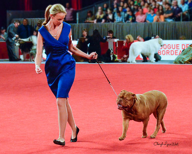 Dogue de Bordeaux - CH Berkshires South Bound