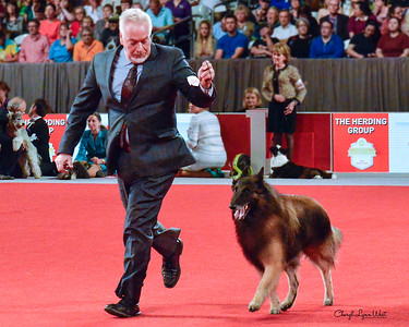 Belgian Tervuren - GCHS CH Directed Verdict Du Cadre Noir At Sandcastle RE PT CGCA